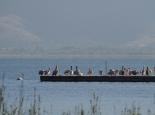 Pelikanbeobachtung am Prespasee (Nordgriechenland)