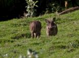 Warzenschweine im Bale Mountains NP
