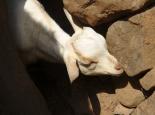 das Vieh bleibt im Gehöft