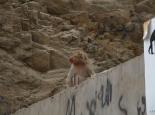 Affen am Pass vor Mekka