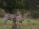 ... mit Zebras