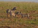 ... aber es gibt auch Zebras