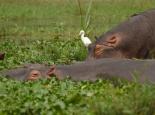 vorherrschend hier: Flusspferde...