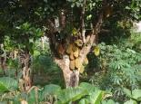 ein Jackfruitbaum