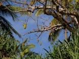 die Früchte des Baobab-Baums