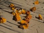 die Früchte einer Palme