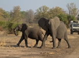 aufgeregte Elefanten