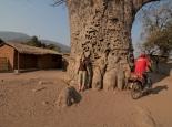 Riesen-Baobab