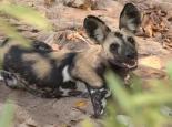 einer der sehr seltenen wild dogs
