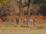 Zebras im Abendlicht