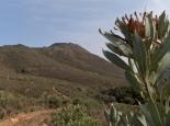 Protea, typisch für die Cederberge