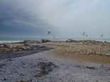 Tölpelkolonie in Lamberts Bay