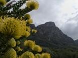 Protea im botanischen Garten