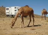 nichts Besonderes mehr, Kamele