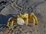 wehrhafte Krabbe