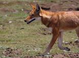 sehr selten: der äthiopische Wolf
