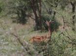 Besonders hier: Giraffengazelle