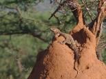 der Leguan bewohnt einen verlassenen Termitenhügel