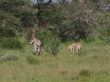 in Kenia selten: Oryxe