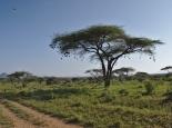 ein Baum mit Webervogelnestern
