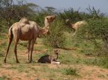 Kamel mit ganz jungem Kalb
