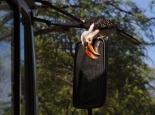neugieriger Hornbill