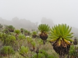 afroalpine Vegetation ....