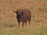 hier sehr häufig:  Büffel, ...