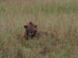 unsere ersten Löwen auf dieser Tour
