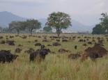 wirklich viele Büffel