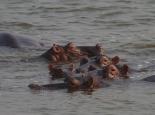 viele Flusspferde