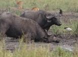 Büffel beim Suhlen