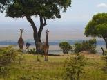 insbesondere viele Giraffen