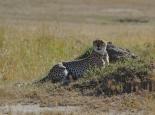 die Krönung am 2. Tag: ein Gepard ...