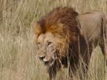 ... und ein toller Löwe