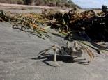 Krabbe am Peponi Beach