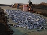 Hauptnahrung und Einkommen: Fischlein