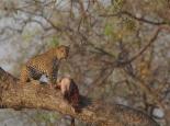 morgendliche Leopardensichtung