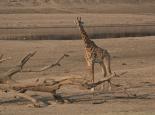Giraffe am Fluss