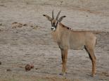 schöne Antilope