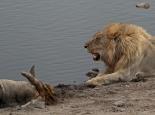 Löwe mit Riss