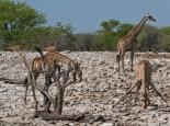 Giraffen bei Trinken immer wieder nett