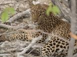 ... Leopard am Mittag ...