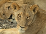 ... Löwenfamilie am Nachmittag