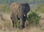 Elefant im Krüger NP