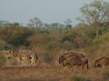 Zebra, Gnu und ...