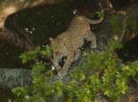 Leopardenbeobachtung ...