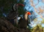 Hornbills im Camp ...