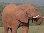 nochmal im Addo Elephant NP