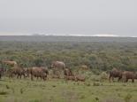 Elefanten vor den Dünen am Meer